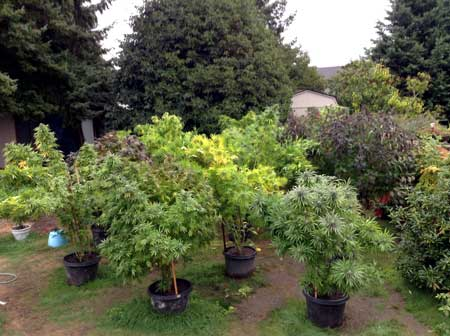 Example of marijuana plants that are easily seen and easily stolen! No stealth!