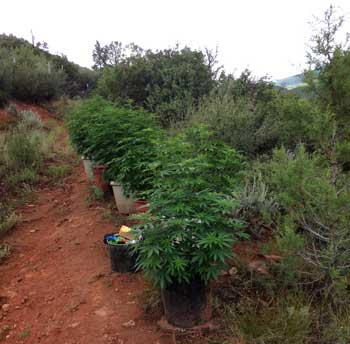Example of cannabis plants that were grown outdoors in a well-positioned spot