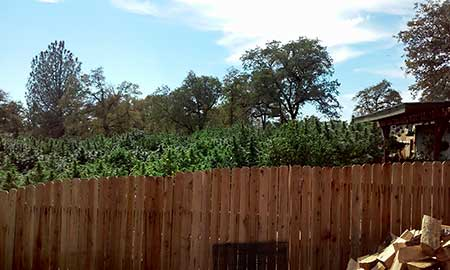 Keep cannabis plants shorter than your fence so people can't see!