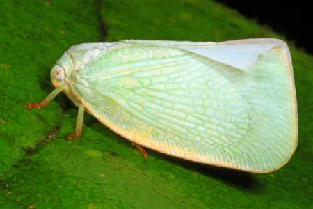 Example of a cannabis planthopper from West Virginia