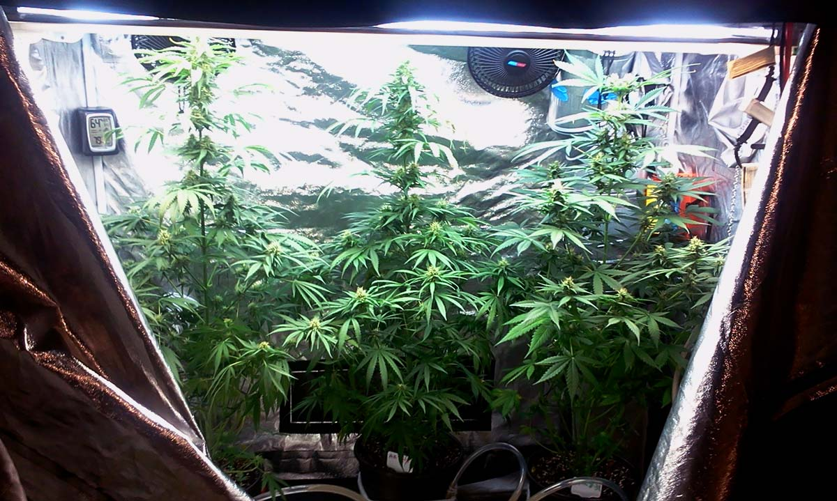 Help My Plants Are Growing Too Tall Grow Weed Easy