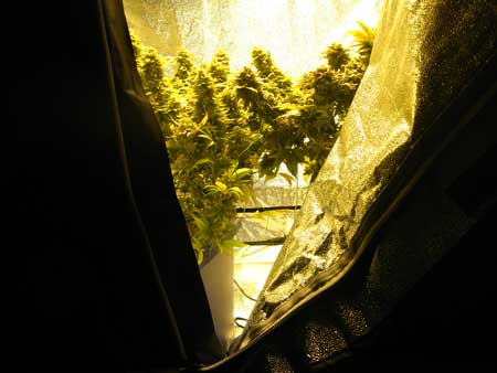Example of the inside of a grow tent - these plants have been trained to grow short so they fit in their grow space