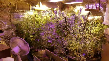 Example of a grow room that's getting a little over crowded. Many of the plants are so tall that they're too close to the grow lights.