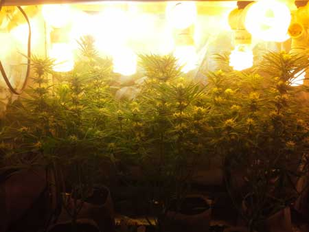 CFL grow lights can be kept within inches of the tops of your plants