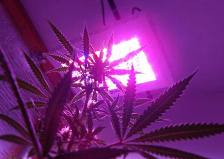 Example of an LED grow light attached almost directly to the ceiling after the plants got too tall