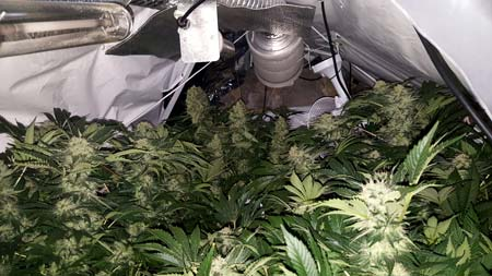 Example of an overgrown cannabis grow room, almost ready for harvest!