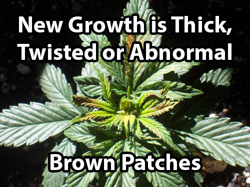 A cannabis boron deficiency causes brown patches on leaves and causes thick, twisted or abnormal new growth.