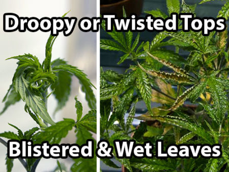 When broad mites attack cannabis they cause droop or twisted new growth, especially near the top of the plant, along with blistered and wet looking leaves