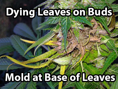 Bud Rot on cannabis causes dying leaves to appear on the buds, and upon investigation you'll be able to see mold at the base of the leaves