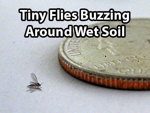 Fungus gnats looks like tiny flies buzzing around the soil, and are typically triggered by wet soil conditions