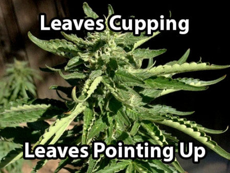 "Heat stress causes cannabis leaves to start cupping (turn into ""canoes""). Another symptoms is leaves pointing up"