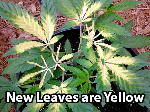 A cannabis iron deficiency causes the top and inner leaves to turn yellow or white