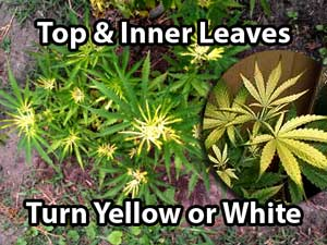 Marijuana Nutrient Problems Symptoms By Picture Grow Weed Easy