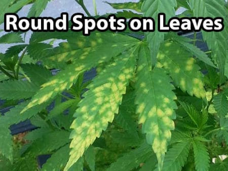 Leaf septoria on cannabis plants causes round yellow or brown spots on leaves