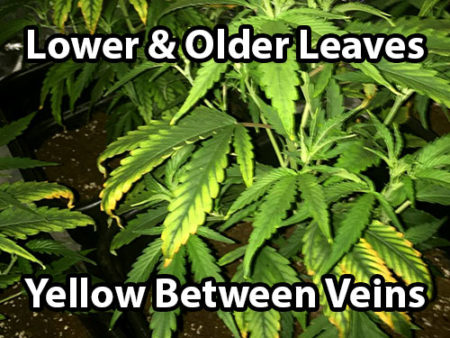The lower and older leaves start turning yellow between the veins when a cannabis plant gets a magnesium deficiency