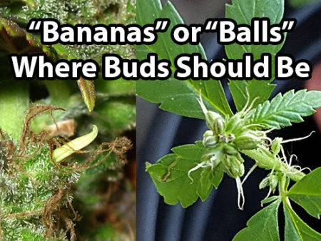 """Male plants, hermies and bananas are not good. The first sign is """"bananas"""" or """"balls"""" where buds should be"""