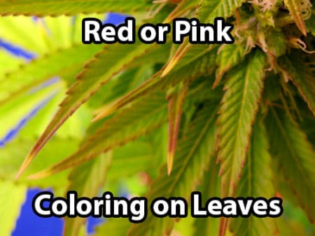 A cannabis molybdenum deficiency causes red or pink coloring on the leaves