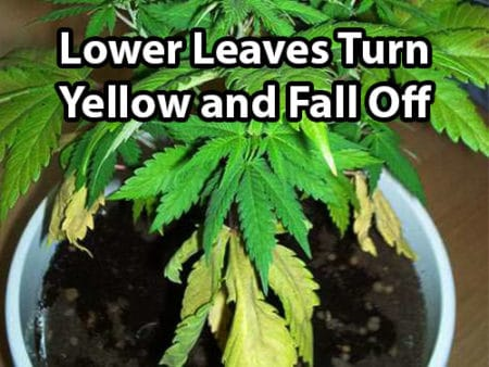 Example of a nitrogen deficiency (the lower cannabis leaves turn yellow and fall off)