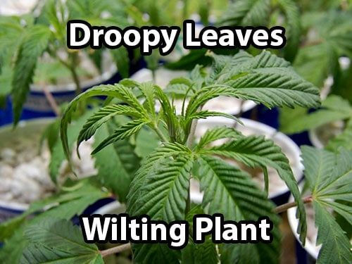 Signs of an over-watered cannabis plant includes droopiness and wilting