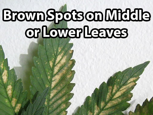 PH fluctuations can cause brown spots on middle or lower leaves
