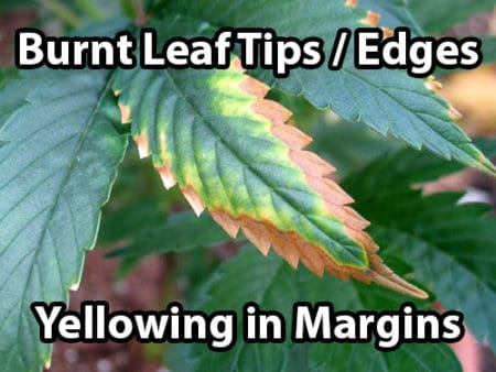A potassium deficiency in cannabis causes burnt leaf tips and edges, as well as yellowing between the margins