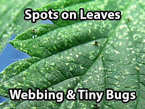 Spider mites on cannabis cause spots on the leaves. You'll also start to see webbing and tiny bugs if you look closely