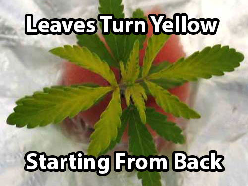 A sulphur deficiency in cannabis plants causes leaves to turn yellow (starting from the back of the leaf)