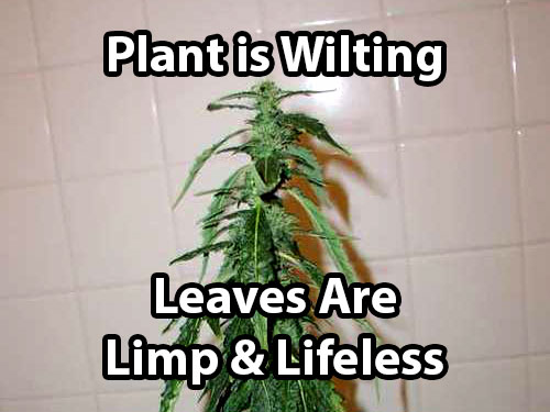Under watered cannabis plants wilt or droop, and the leaves become limp and lifeless