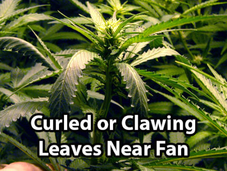 Wind burn causes curled or clawing leaves in the direct flow from a fan