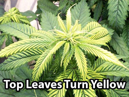 Zinc deficiency on cannabis plants cause the top leaves to turn yellow