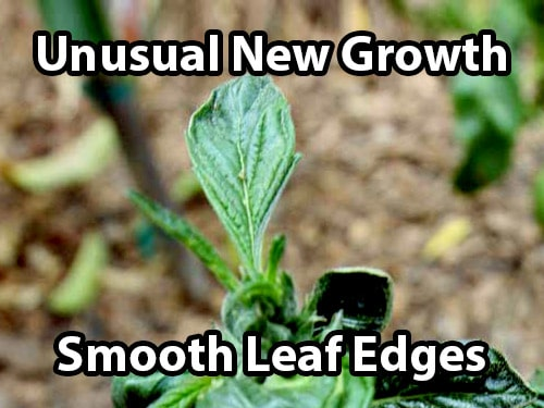 An accidental revegging of cannabis causes unusual new growth and smooth leaf edges