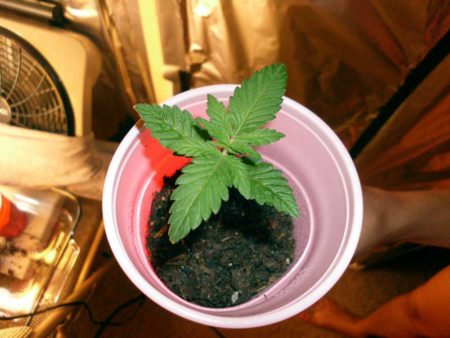 Example of a healthy and happy 10 day old cannabis seedling in a solo cup