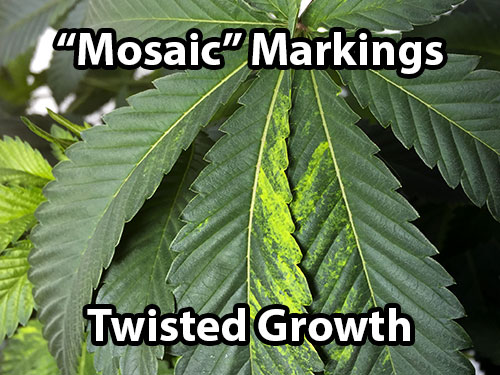 Tobacco mosaic virus gives cannabis plants odd yellow markings and twisted growth