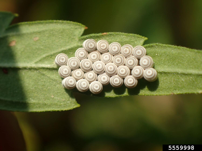 Stink Bug | Grow Weed Easy