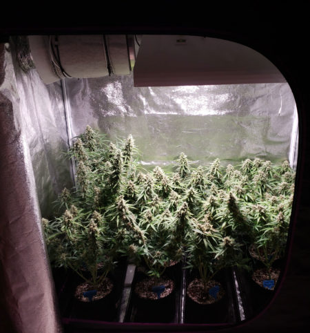 Example of flowering cannabis plants that were grown under a 315 LEC grow light