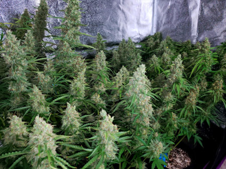Flowering marijuana plants grown under a 315 CMH (LEC) grow light
