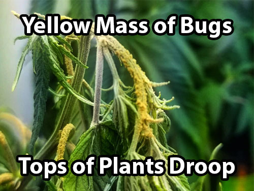 Hemp russet mites on cannabis symptoms (yellow mass of bugs, tops of plants droop)