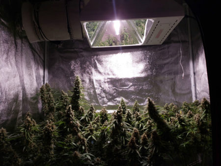 "Keep LEC grow lights at least 18"" (45 cm) away from the tops of your cannabis plants"