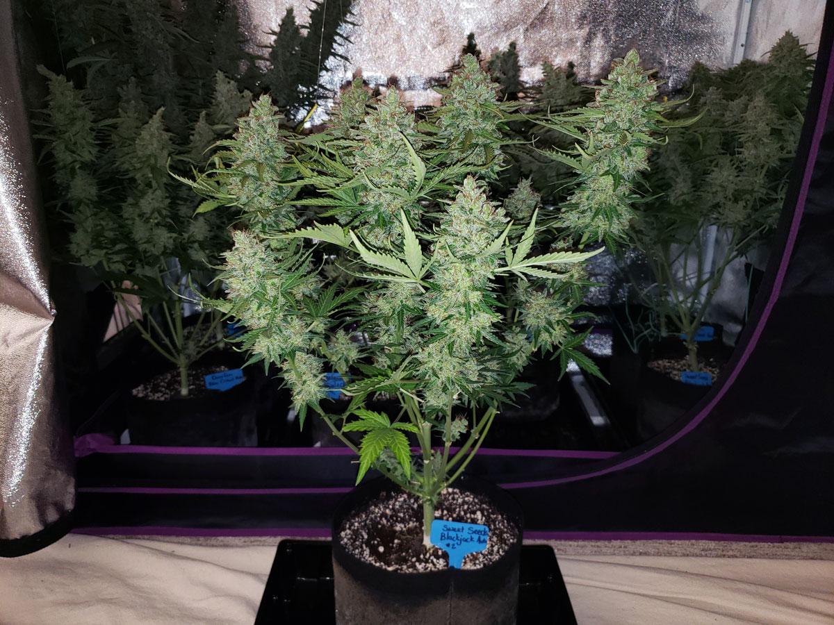 Best Marijuana Strains for Beginner Growers   Grow Weed Easy