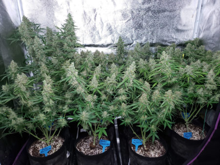 Cannabis plants growing under a 315 CMH grow light (not long before harvest)