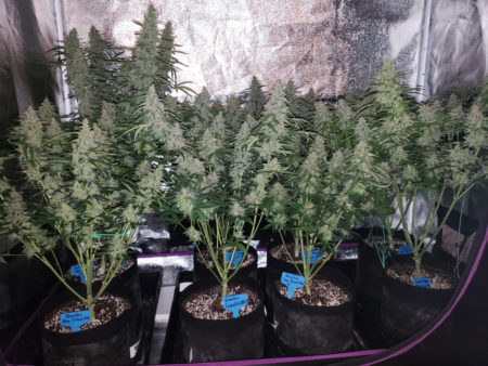Example of 8 plants flowering under a 315 LEC grow light - not long before harvest!