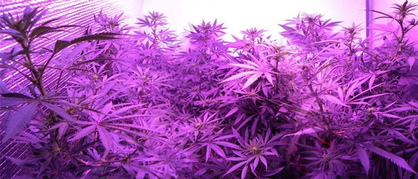 Healthy, fast growing cannabis plants growing under an LED grow light