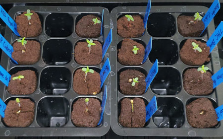You can germinate cannabis seeds directly in Rapid Rooters