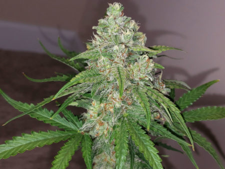 Example of a marijuana cola that was grown under a 315 CMH grow light