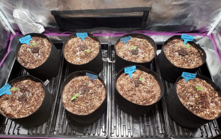 Put your young cannabis seedlings into their pots
