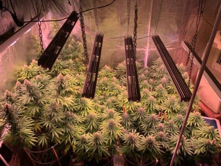 A field of LED grown cannabis