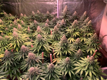 Cannabis looking happy under LED lighting