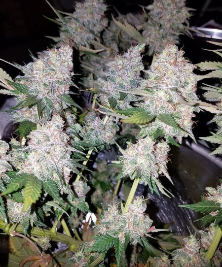 Lots of sticky cannabis colas