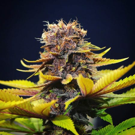 A purple female cannabis plant from Mass Medical Strains