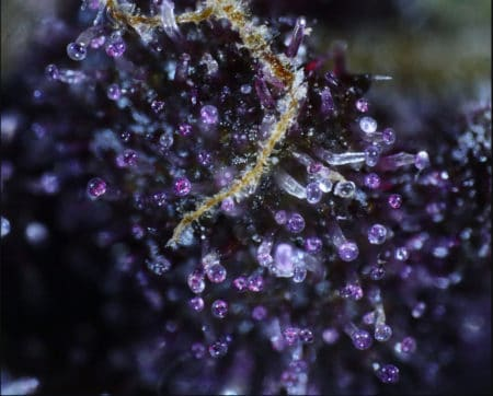 Purple trichomes on a cannabis plant by Mass Medical Strains